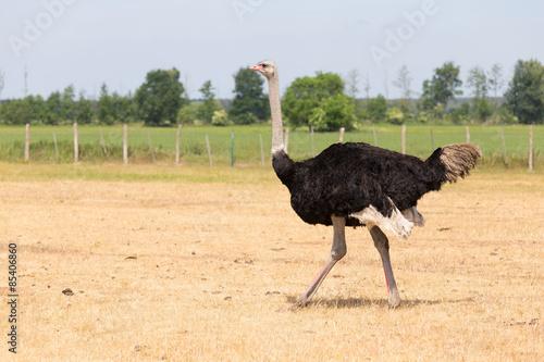 Staande foto Struisvogel Laufender Strauß