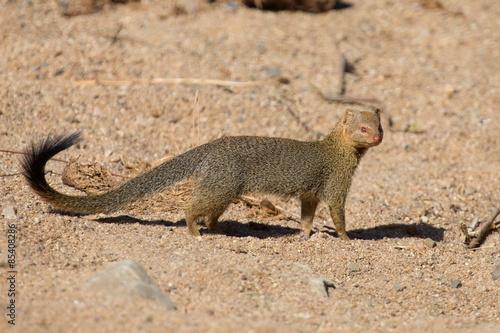 Tuinposter Eekhoorn Slender mongoose forage and look for food at rocks