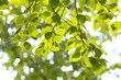 Foliage of a birch