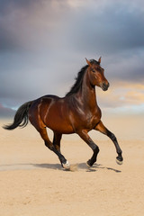Bay stallion horse playing in sandy field against sunset sky