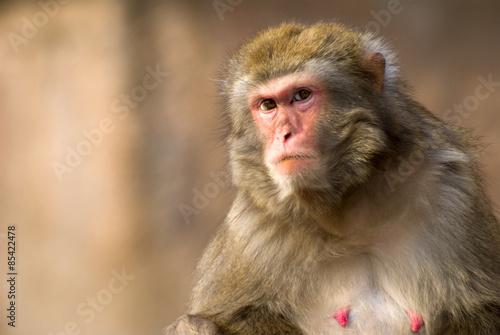 Foto op Aluminium Aap macaque monkey portrait