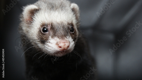 Photo  ferret