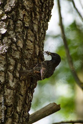 Photo  Uccello, storno, porta mangiare al nido, nido cucciolata