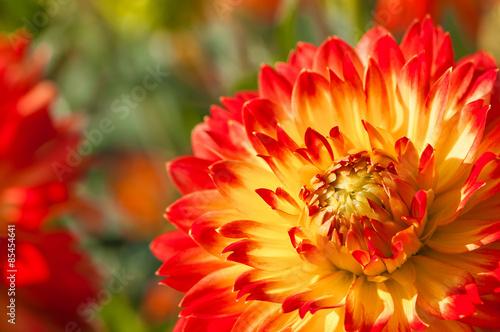 In de dag Dahlia Feurige Dahlienblüte in Rot und Gelb, farbenfrohe Sommerblumen im Garten, Blumenbeet im Spätsommer