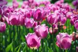 Piękne jasne tulipany