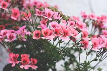 English Geranium Flowers