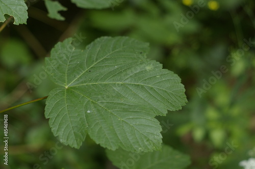 Fotografie, Obraz  Maple tree leaf. Acer Pseudoplatanus