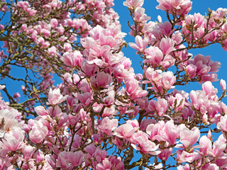 Panel Szklany Kwiaty Magnolien