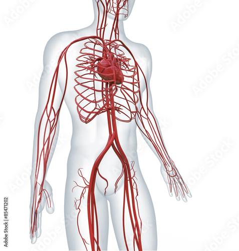 Fotografía  heart and cardiovascular circulatory