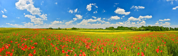 Fototapeta Panorama of poppy field in summer countryside