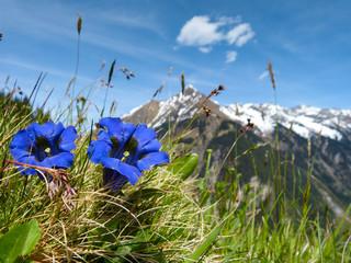 Fototapeta Kwiaty blauer Enzian in Österreich
