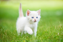 Adorable White Kitten With Blu...