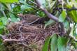 Leinwandbild Motiv Amsel brütet im Nest