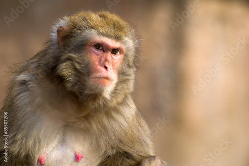 In de dag macaque portrait