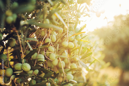 Foto op Aluminium Olijfboom Olives on olive tree in autumn