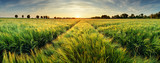 Fototapeta  - Rural landscape with wheat field on sunset