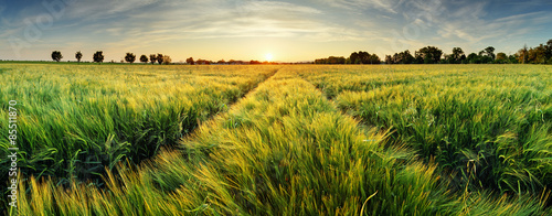 Poster Meadow Rural landscape with wheat field on sunset