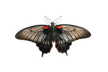 Female Of Great Mormon (Papilio Memnon) Butterfly Isolated On A White Background