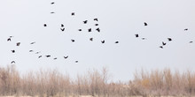 A Flock Of Crows In The Sky On The Bare Branches Of Trees