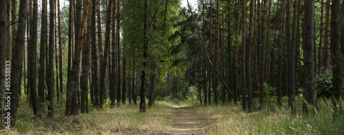 Obraz Alley footpath in the pine forest panorama - fototapety do salonu
