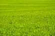 Zielone  pole zboża późną wiosną w pogodny dzień.Tło.