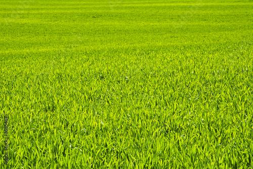 Obraz Zielone  pole zboża późną wiosną w pogodny dzień.Tło. - fototapety do salonu