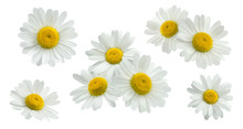Camomile Group Set Isolated On...