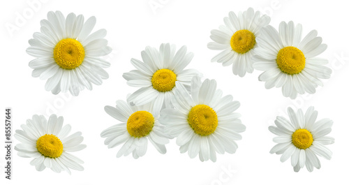 Foto op Canvas Madeliefjes Camomile group set isolated on white
