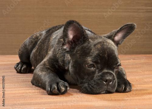 Foto op Aluminium Franse bulldog Chiot bouledogue