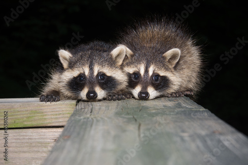 Fotografia Tw baby raccoon