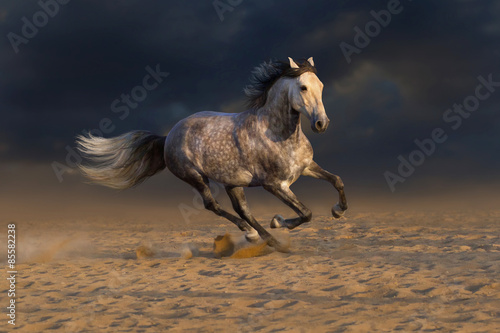 Grey andalusian horse run gallop in desert dust Poster