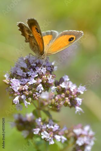 Fotografie, Obraz  Pyronia butterfly on flower