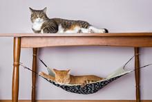 Two Domestic Cat Sleeping