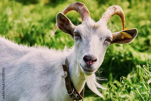 Poster Heuvel Goat grazing on the farm