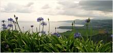 Agapanthus In Primo Piano, Sfondo Costa Delle Azzorre Isola Di Sao Miguel