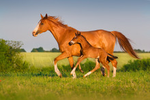 Mare Run With Colt In Beautiful Field At Sunrise