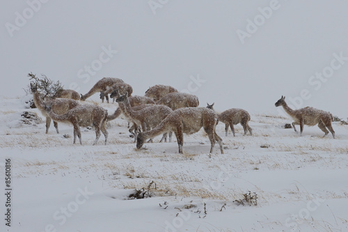 Staande foto Lama Group of Guanacos (Lama guanicoe) feeding on a mountainside in a snow storm in Torres del Paine National Park in Patagonia, Chile