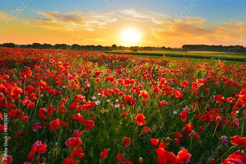 Foto op Canvas Poppy Poppy field