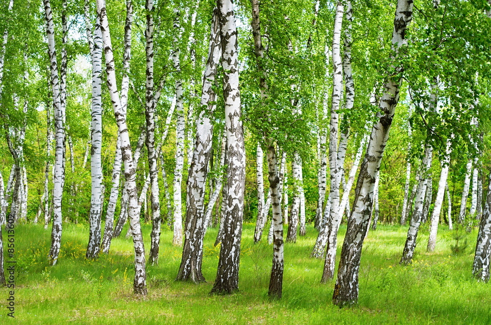 Fototapeta birch grove