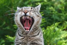 Portrait Gähnende Katze Mit Zunge Und Gebiss
