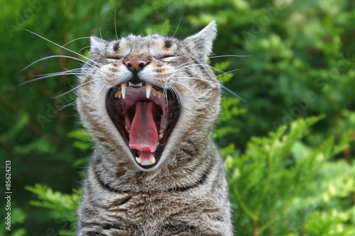 Gähnende Katze Fototapete