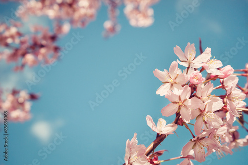 Canvas-taulu Closeup of cherry tree (prunus sargentii) blossoms in spring