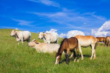 Bestiame al pascolo nell'appennino umbro