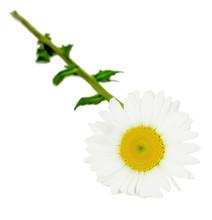 Leucanthemum Vulgare, Oxeye Daisy Chrysanthemum