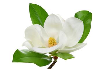Bijela magnolija