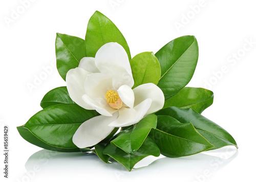 Poster Magnolia White magnolia