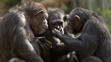 Three Chimpanzees Having A Meeting