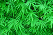 Leinwanddruck Bild - bamboo leaves background