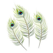 Vector Isolated Peacock Feather Background