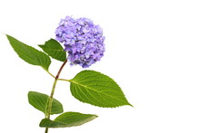 Beautiful Blue Hydrangeas, Right You Can Write Some Text